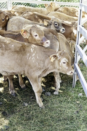 calves-livestock