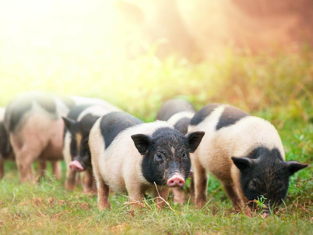Sustainably raised hogs
